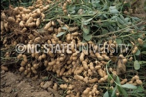 Cover photo for Peanut Field Day Schedule for September 10th