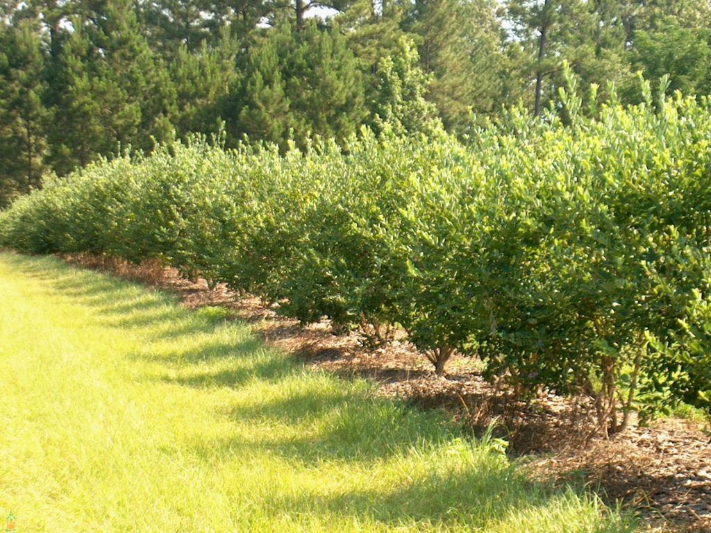 2019 Blueberry Pruning Workshop North Carolina Cooperative Extension