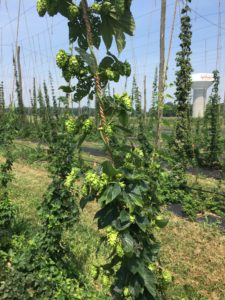 Cover photo for 1st Annual Piedmont / Southern Virginia Hops Conference