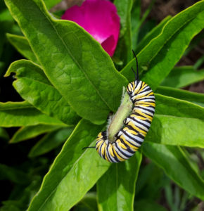 Monarch caterpillar on butterfly milkweed.