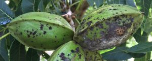 Cover photo for Pecan Scab Disease