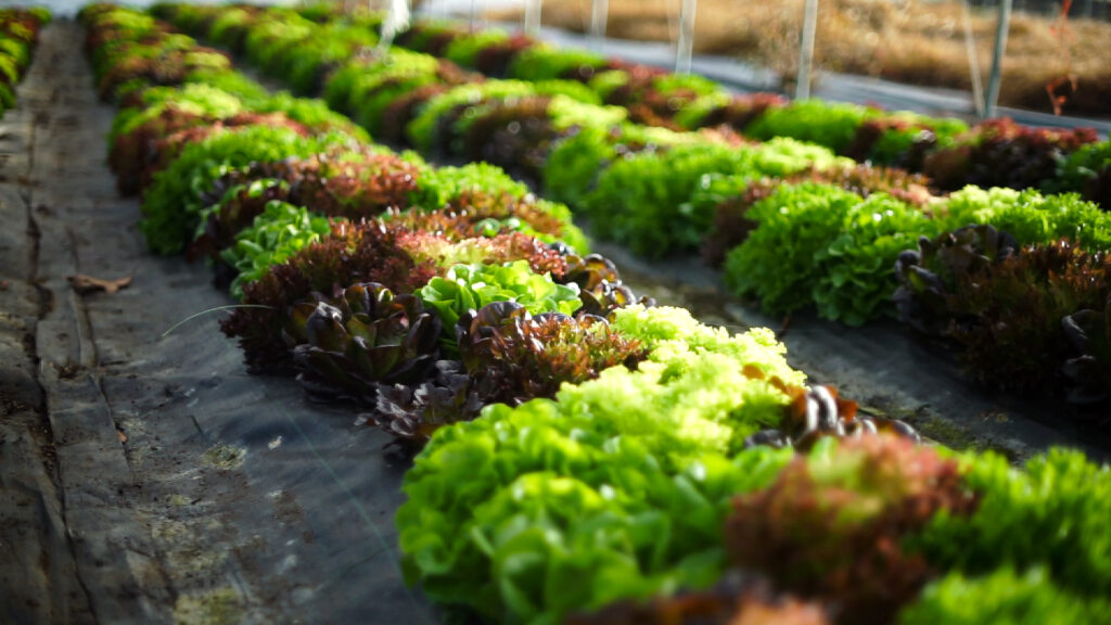 Multiple varieties of lettuce grown in a hoop house