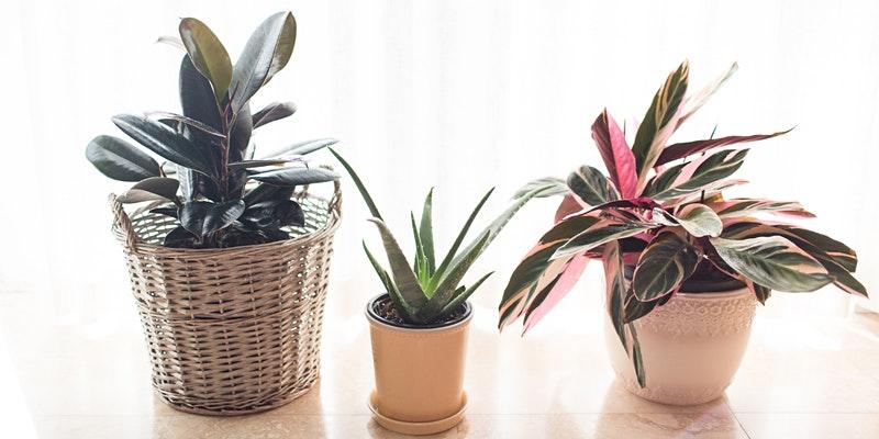 Three plants in planters